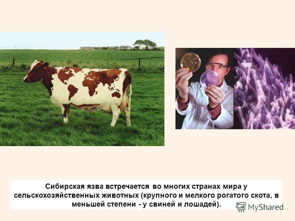 Сибирская язва встречается во многих странах мира у сельскохозяйственных животных (крупного и мелкого рогатого скота, в меньшей степени - у свиней и лошадей).
