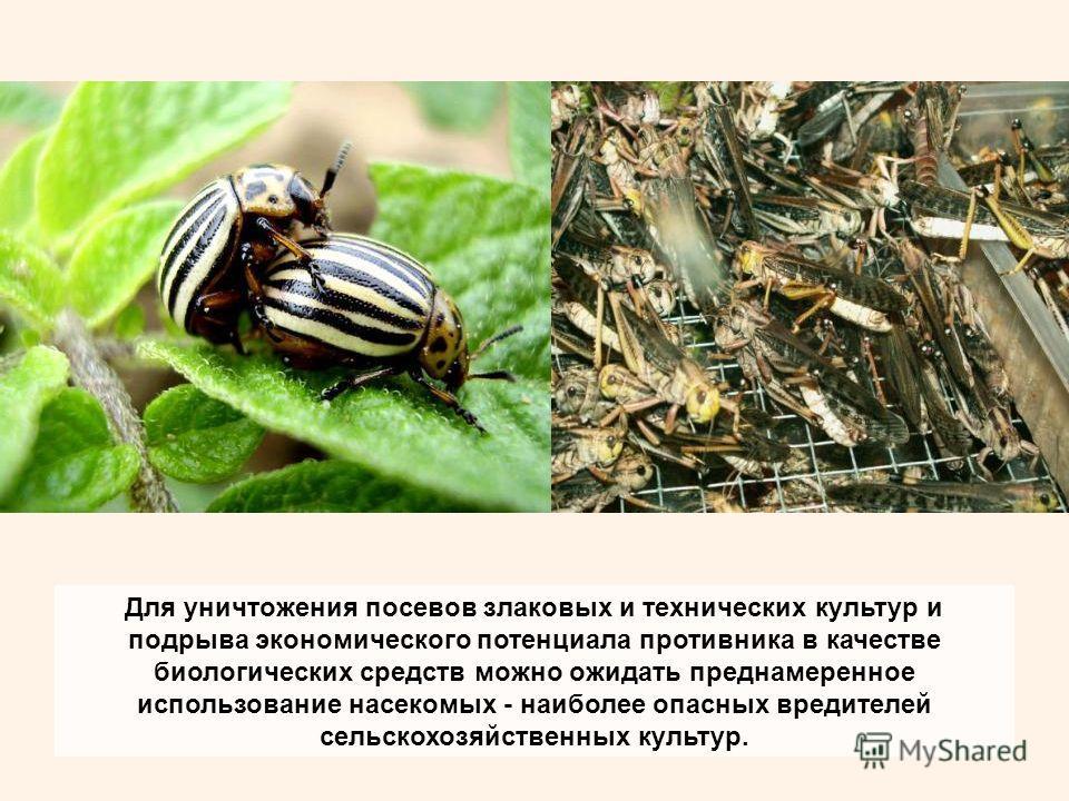Для уничтожения посевов злаковых и технических культур и подрыва экономического потенциала противника в качестве биологических средств можно ожидать преднамеренное использование насекомых - наиболее опасных вредителей сельскохозяйственных культур.