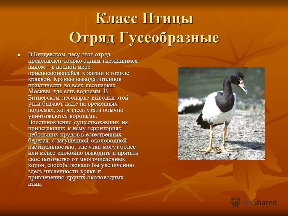 Класс Птицы Отряд Гусеобразные В Битцевском лесу этот отряд представлен только одним гнездящимся видом – в полной мере приспособившейся к жизни в городе кряквой. Кряквы выводят птенцов практически во всех лесопарках Москвы, где есть водоемы. В Битцев