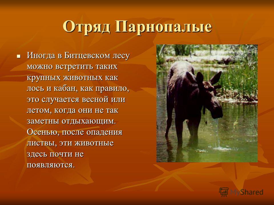 Отряд Парнопалые Иногда в Битцевском лесу можно встретить таких крупных животных как лось и кабан, как правило, это случается весной или летом, когда они не так заметны отдыхающим. Осенью, после опадения листвы, эти животные здесь почти не появляются