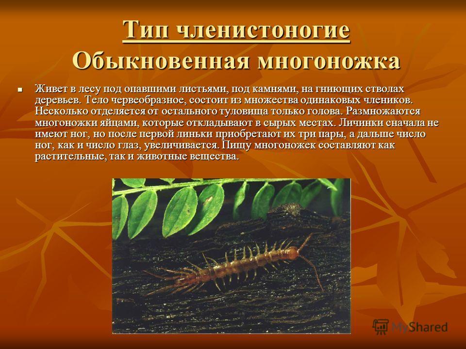 Тип членистоногие Обыкновенная многоножка Тип членистоногие Обыкновенная многоножка Живет в лесу под опавшими листьями, под камнями, на гниющих стволах деревьев. Тело червеобразное, состоит из множества одинаковых члеников. Несколько отделяется от ос