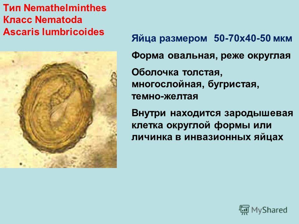 Тип Nemathelminthes Класс Nematoda Ascaris lumbricoides Яйца размером 50-70х40-50 мкм Форма овальная, реже округлая Оболочка толстая, многослойная, бугристая, темно-желтая Внутри находится зародышевая клетка округлой формы или личинка в инвазионных я