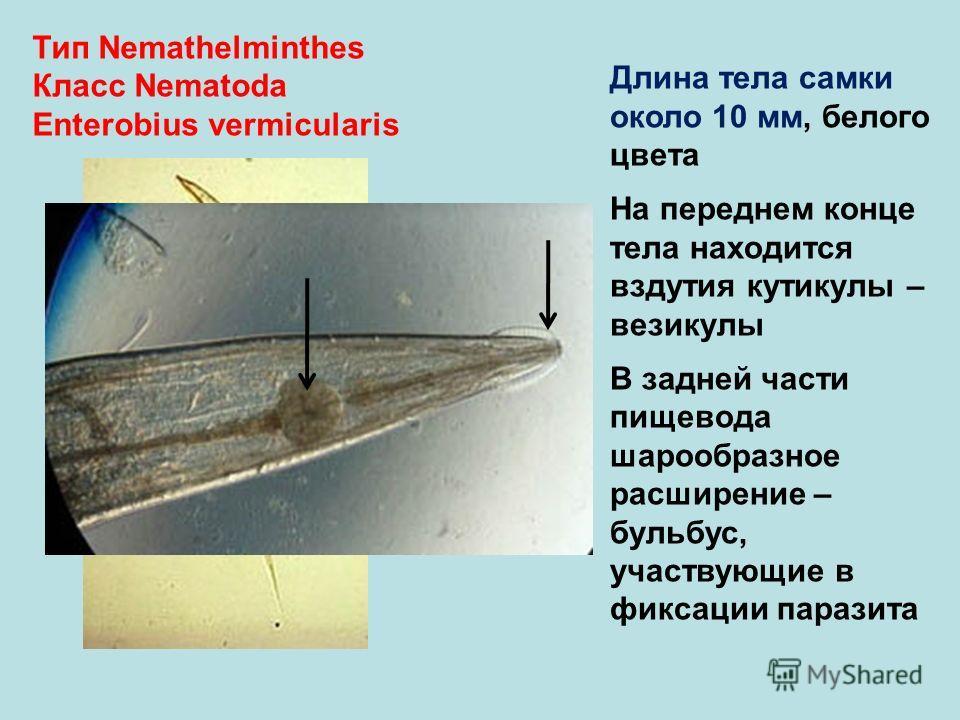 Тип Nemathelminthes Класс Nematoda Enterobius vermicularis Длина тела самки около 10 мм, белого цвета На переднем конце тела находится вздутия кутикулы – везикулы В задней части пищевода шарообразное расширение – бульбус, участвующие в фиксации параз