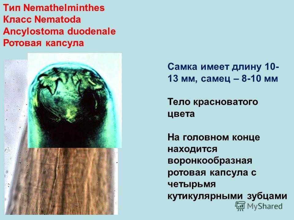 Тип Nemathelminthes Класс Nematoda Ancylostoma duodenale Ротовая капсула Самка имеет длину 10- 13 мм, самец – 8-10 мм Тело красноватого цвета На головном конце находится воронкообразная ротовая капсула с четырьмя кутикулярными зубцами