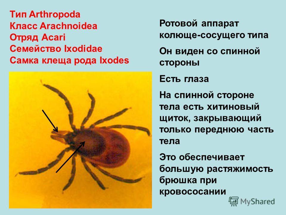 Тип Arthropoda Класс Arachnoidea Отряд Аcari Семейство Ixodidae Самка клеща рода Ixodes Ротовой аппарат колюще-сосущего типа Он виден со спинной стороны Есть глаза На спинной стороне тела есть хитиновый щиток, закрывающий только переднюю часть тела Э