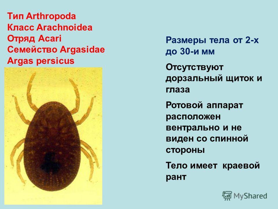 Тип Arthropoda Класс Arachnoidea Отряд Аcari Семейство Argasidae Argas persicus Размеры тела от 2-х до 30-и мм Отсутствуют дорзальный щиток и глаза Ротовой аппарат расположен вентрально и не виден со спинной стороны Тело имеет краевой рант