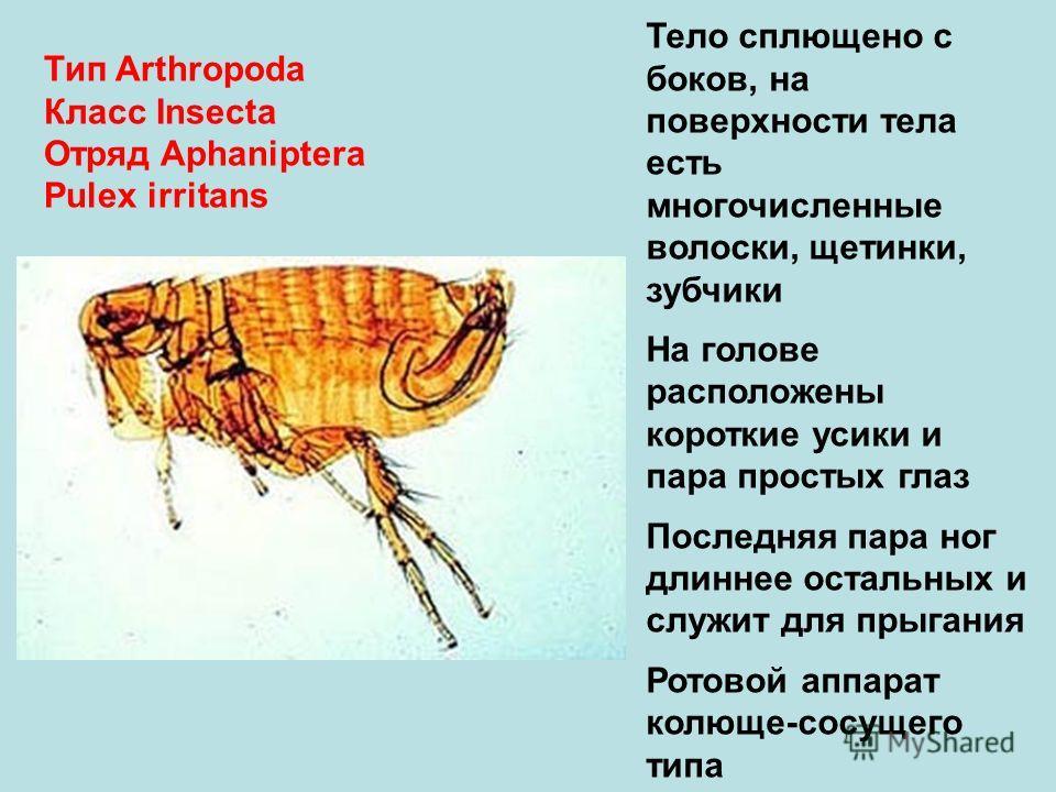 Тип Arthropoda Класс Insecta Отряд Aphaniptera Pulex irritans Тело сплющено с боков, на поверхности тела есть многочисленные волоски, щетинки, зубчики На голове расположены короткие усики и пара простых глаз Последняя пара ног длиннее остальных и слу