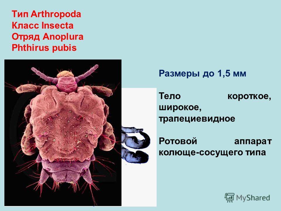 Тип Arthropoda Класс Insecta Отряд Anoplura Phthirus pubis Размеры до 1,5 мм Тело короткое, широкое, трапециевидное Ротовой аппарат колюще-сосущего типа