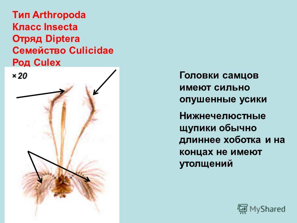 Тип Arthropoda Класс Insecta Отряд Diptera Семейство Culicidae Род Culex Головки самцов имеют сильно опушенные усики Нижнечелюстные щупики обычно длиннее хоботка и на концах не имеют утолщений