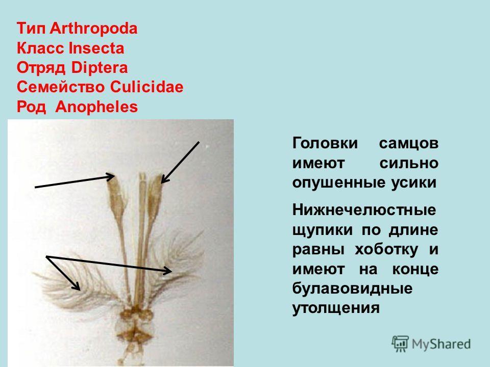 Тип Arthropoda Класс Insecta Отряд Diptera Семейство Culicidae Род Anopheles Головки самцов имеют сильно опушенные усики Нижнечелюстные щупики по длине равны хоботку и имеют на конце булавовидные утолщения