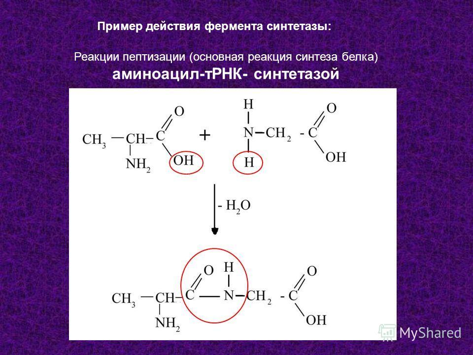 Пример действия фермента синтетазы: Реакции пептизации (основная реакция синтеза белка) аминоацил-тРНК- синтетазой