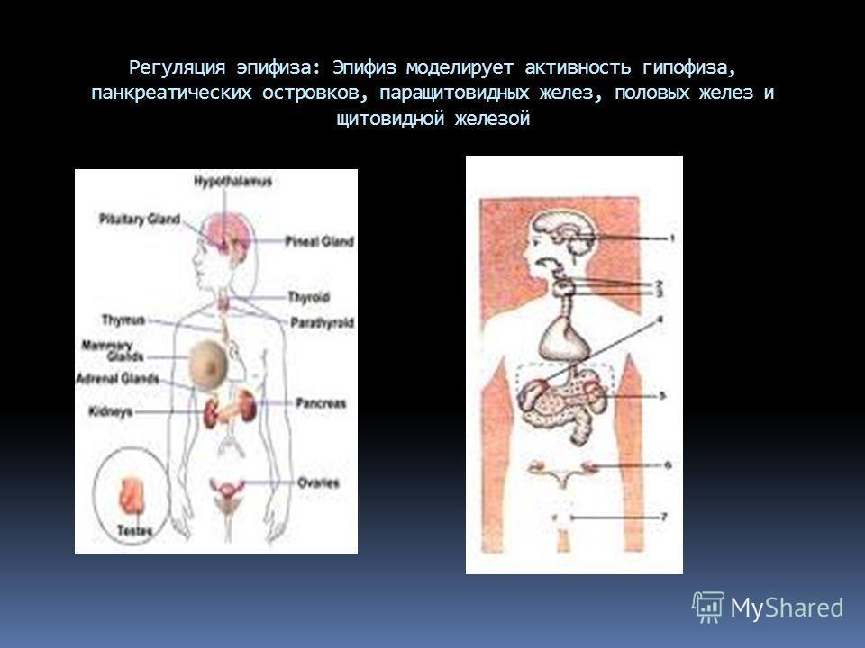 Регуляция эпифиза: Эпифиз моделирует активность гипофиза, панкреатических островков, паращитовидных желез, половых желез и щитовидной железой