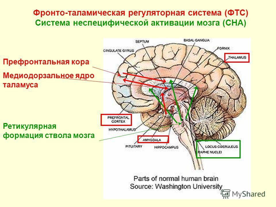 Фронто-таламическая регуляторная система (ФТС) Система неспецифической активации мозга (СНА) Префронтальная кора Медиодорзальное ядро таламуса Ретикулярная формация ствола мозга