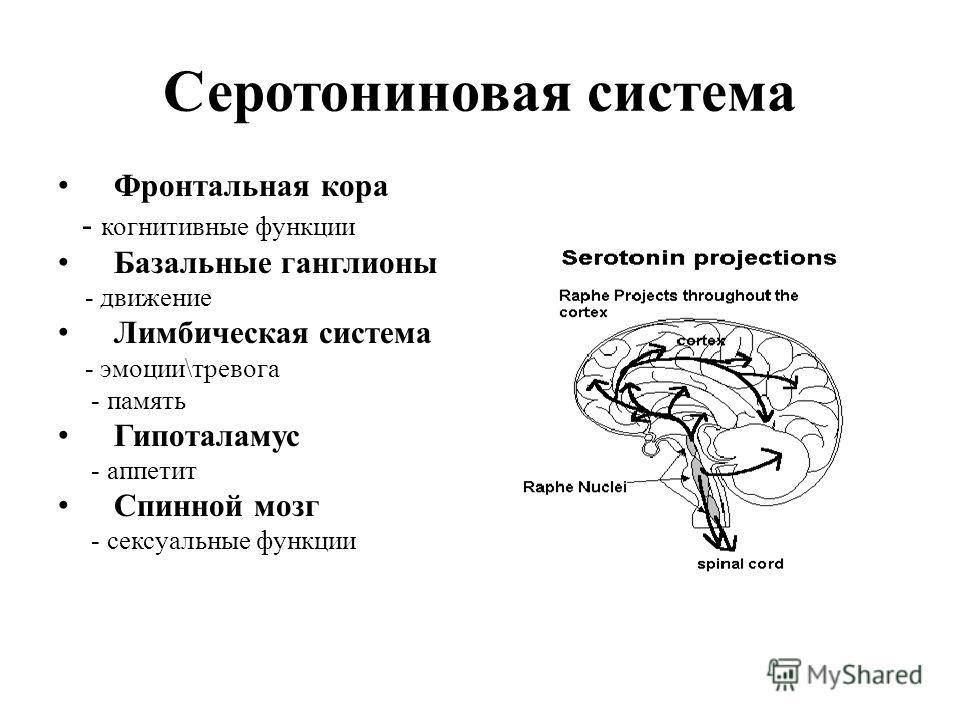 Серотониновая система Фронтальная кора - когнитивные функции Базальные ганглионы - движение Лимбическая система - эмоции\тревога - память Гипоталамус - аппетит Спинной мозг - сексуальные функции