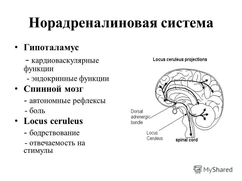 Норадреналиновая система Гипоталамус - кардиоваскулярные функции - эндокринные функции Спинной мозг - автономные рефлексы - боль Locus ceruleus - бодрствование - отвечаемость на стимулы