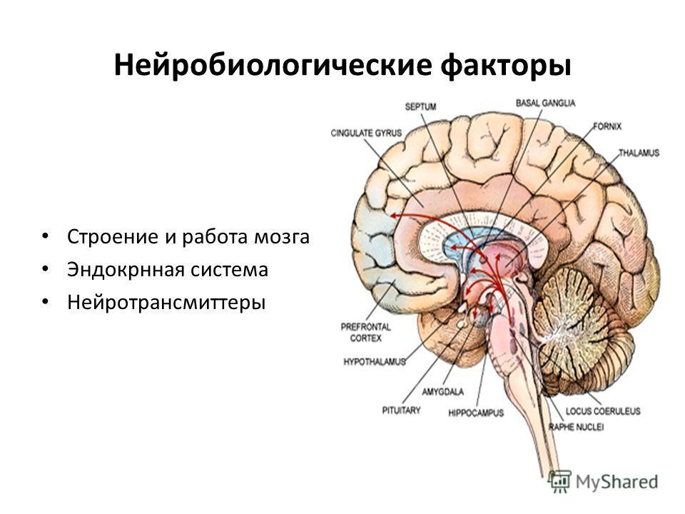 Нейробиологические факторы Строение и работа мозга Эндокрнная система Нейротрансмиттеры