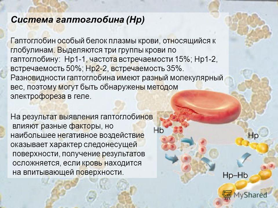 Система гаптоглобина (Нр) Гаптоглобин особый белок плазмы крови, относящийся к глобулинам. Выделяются три группы крови по гаптоглобину: Нр1-1, частота встречаемости 15%; Нр1-2, встречаемость 50%; Нр2-2, встречаемость 35%. Разновидности гаптоглобина и