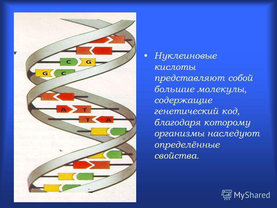 Нуклеиновые кислоты представляют собой большие молекулы, содержащие генетический код, благодаря которому организмы наследуют определённые свойства.
