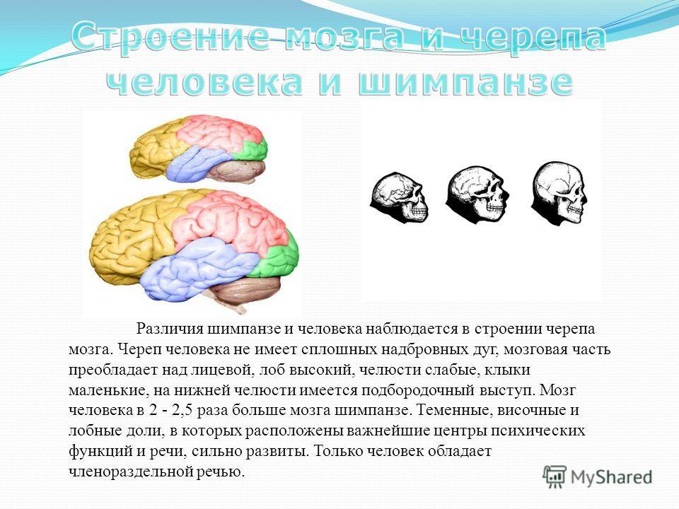 Различия шимпанзе и человека наблюдается в строении черепа мозга. Череп человека не имеет сплошных надбровных дуг, мозговая часть преобладает над лицевой, лоб высокий, челюсти слабые, клыки маленькие, на нижней челюсти имеется подбородочный выступ. М