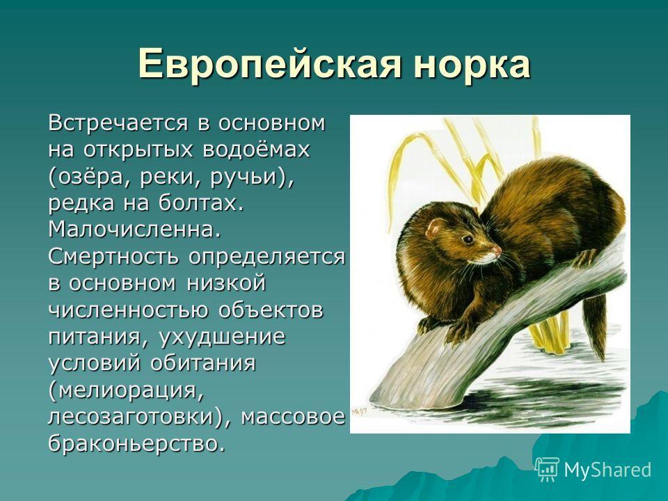 Европейская норка Встречается в основном на открытых водоёмах (озёра, реки, ручьи), редка на болтах. Малочисленна. Смертность определяется в основном низкой численностью объектов питания, ухудшение условий обитания (мелиорация, лесозаготовки), массов
