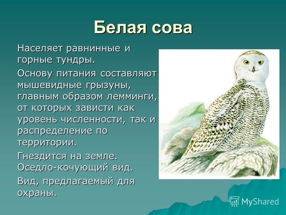 Белая сова Населяет равнинные и горные тундры. Основу питания составляют мышевидные грызуны, главным образом лемминги, от которых зависти как уровень численности, так и распределение по территории. Гнездится на земле. Оседло-кочующий вид. Вид, предла