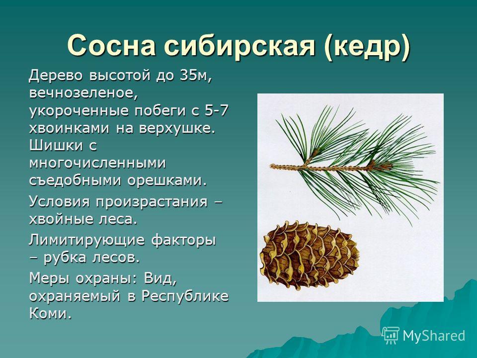 Сосна сибирская (кедр) Дерево высотой до 35м, вечнозеленое, укороченные побеги с 5-7 хвоинками на верхушке. Шишки с многочисленными съедобными орешками. Условия произрастания – хвойные леса. Лимитирующие факторы – рубка лесов. Меры охраны: Вид, охран