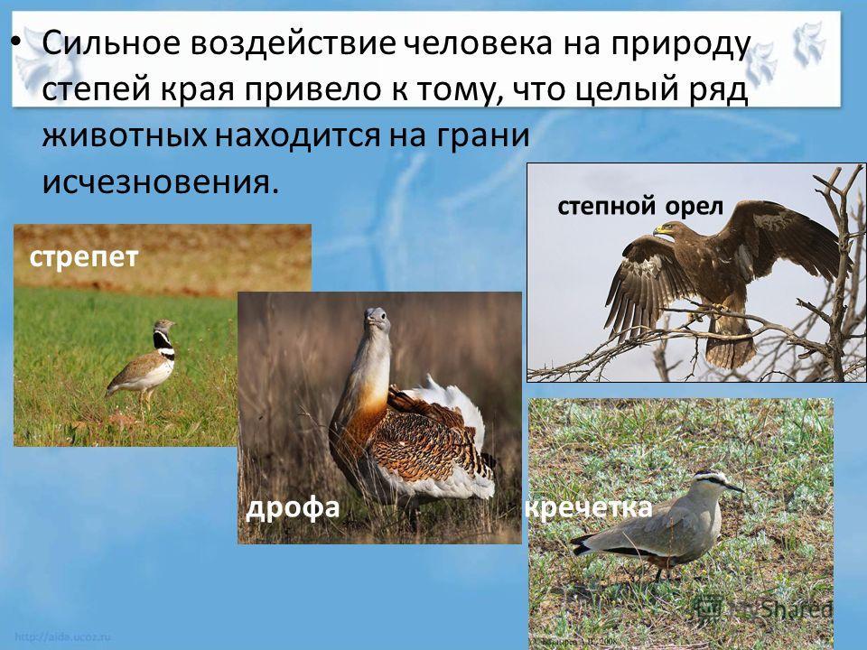 Сильное воздействие человека на природу степей края привело к тому, что целый ряд животных находится на грани исчезновения. кречетка стрепет дрофа степной орел