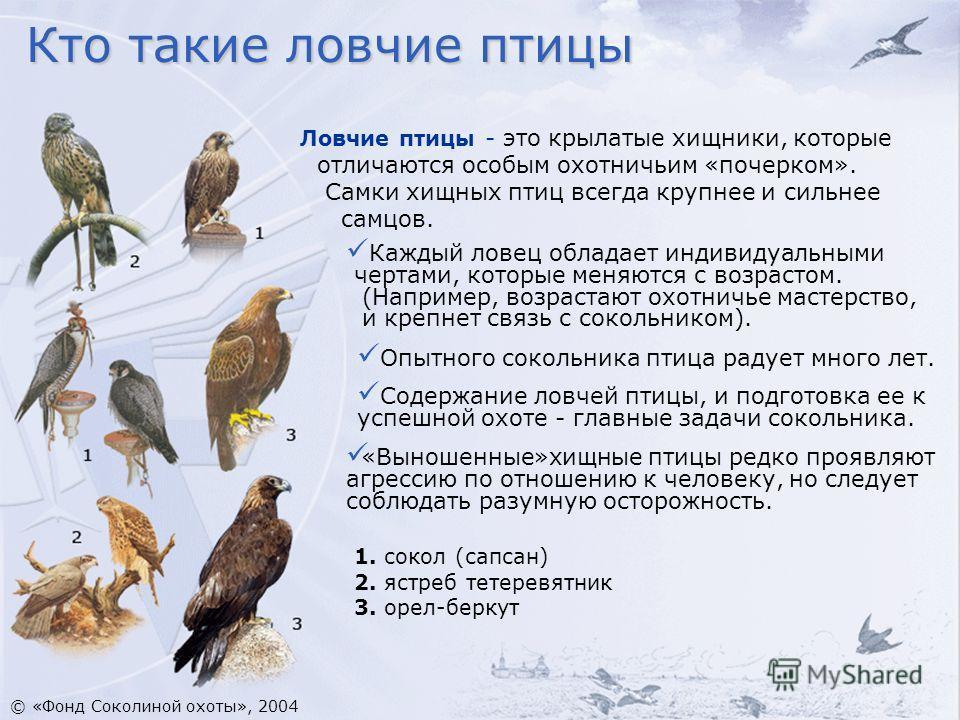 Ловчие птицы - это крылатые хищники, которые отличаются особым охотничьим «почерком». Самки хищных птиц всегда крупнее и сильнее самцов. Каждый ловец обладает индивидуальными чертами, которые меняются с возрастом. (Например, возрастают охотничье маст