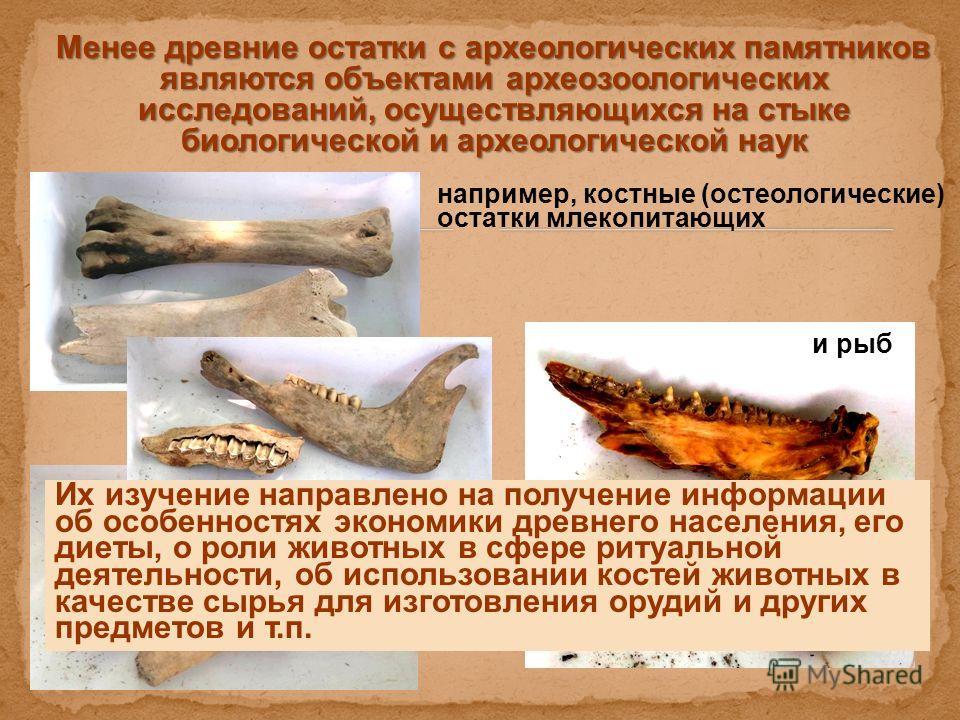 Менее древние остатки с археологических памятников являются объектами археозоологических исследований, осуществляющихся на стыке биологической и археологической наук Менее древние остатки с археологических памятников являются объектами археозоологиче