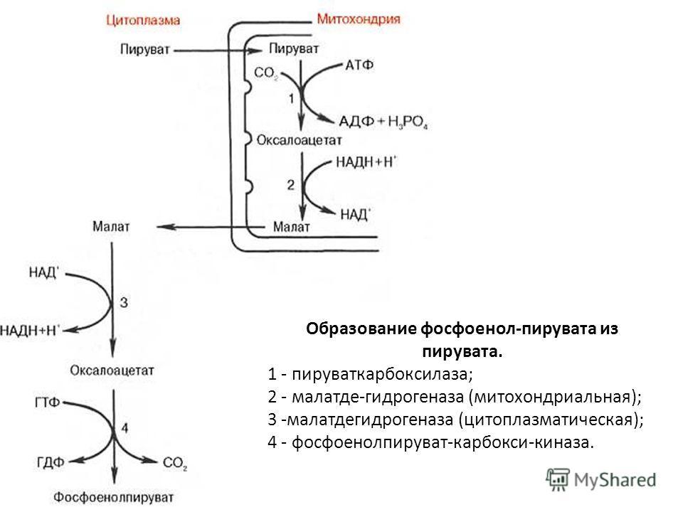 Образование фосфоенол-пирувата из пирувата. 1 - пируваткарбоксилаза; 2 - малатде-гидрогеназа (митохондриальная); 3 -малатдегидрогеназа (цитоплазматическая); 4 - фосфоенолпируват-карбокси-киназа.