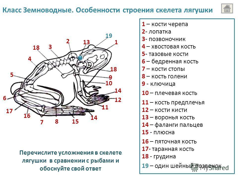 16 1 18 19 2 3 18 4 5 9 10 6 17 7 14 815 14 11 12 13 Перечислите усложнения в скелете лягушки в сравнении с рыбами и обоснуйте свой ответ 1 – кости черепа 2- лопатка Класс Земноводные. Особенности строения скелета лягушки 3- позвоночник 4 – хвостовая