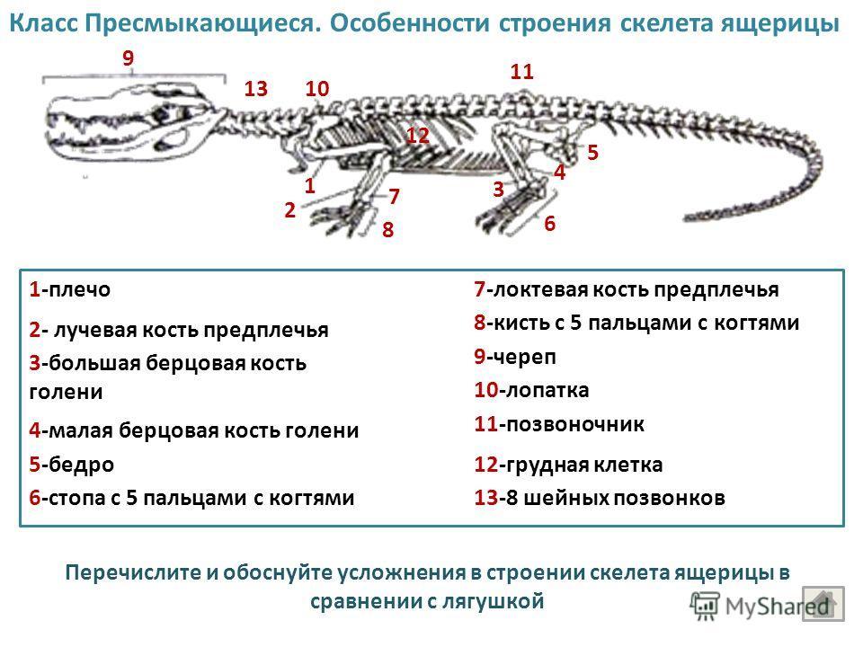 Класс Пресмыкающиеся. Особенности строения скелета ящерицы 9 10 11 1 2 7 8 6 4 3 5 12 1-плечо 2- лучевая кость предплечья 7-локтевая кость предплечья 8-кисть с 5 пальцами с когтями 3-большая берцовая кость голени 4-малая берцовая кость голени 5-бедро