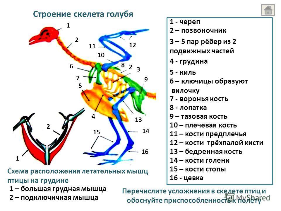 Строение скелета голубя 1 - череп 2 – позвоночник 3 – 5 пар рёбер из 2 подвижных частей 4 - грудина 5 - киль 6 – ключицы образуют вилочку 7 - воронья кость 8 - лопатка 9 – тазовая кость 10 – плечевая кость 11 – кости предплечья 12 – кости трёхпалой к