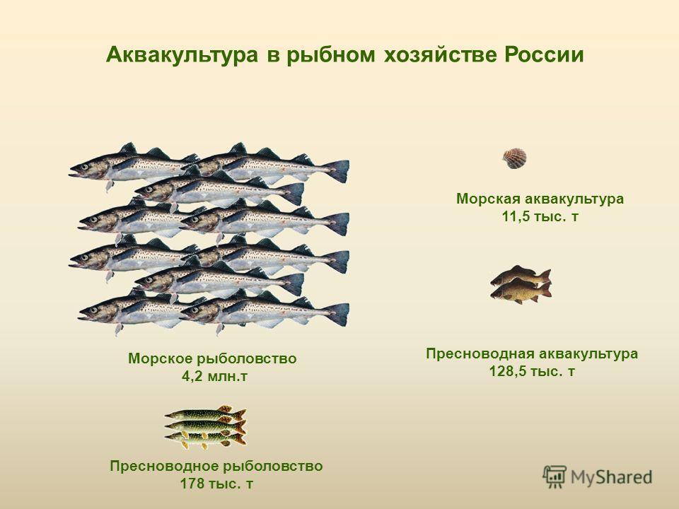 Аквакультура в рыбном хозяйстве России Морское рыболовство 4,2 млн.т Пресноводная аквакультура 128,5 тыс. т Пресноводное рыболовство 178 тыс. т Морская аквакультура 11,5 тыс. т