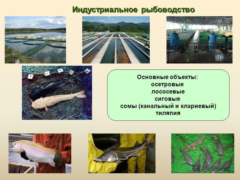 Индустриальное рыбоводство Основные объекты: осетровые лососевые сиговые сомы (канальный и клариевый) тиляпия