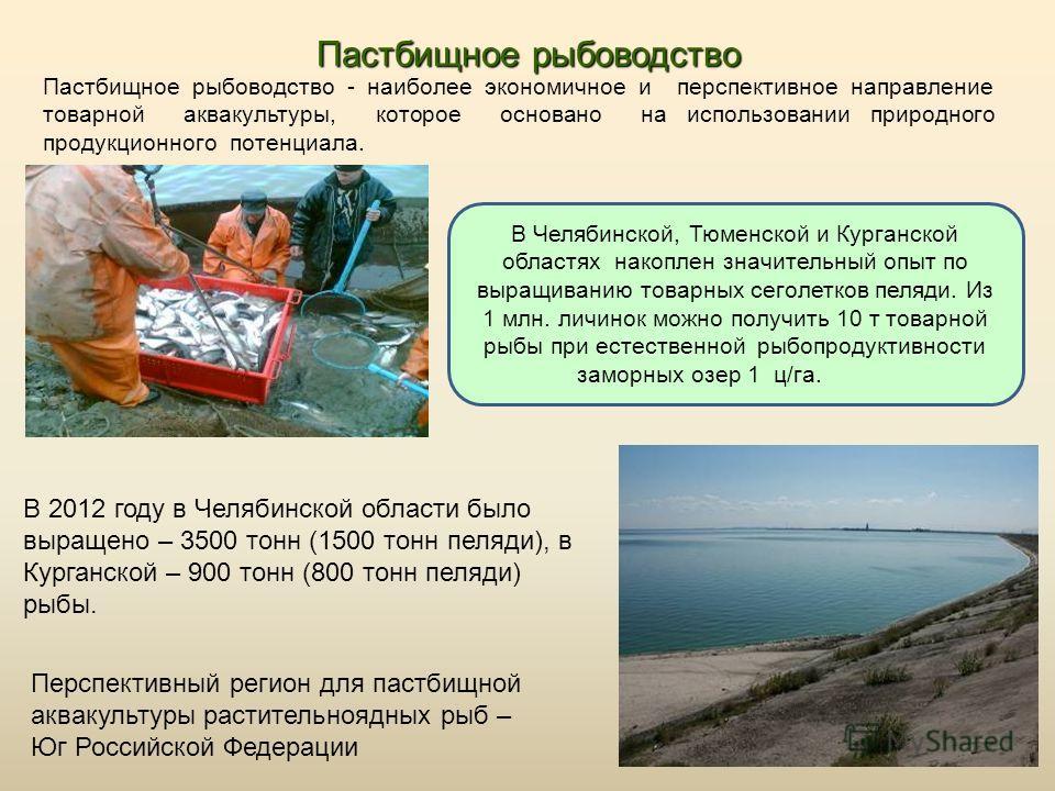 Пастбищное рыбоводство Пастбищное рыбоводство - наиболее экономичное и перспективное направление товарной аквакультуры, которое основано на использова