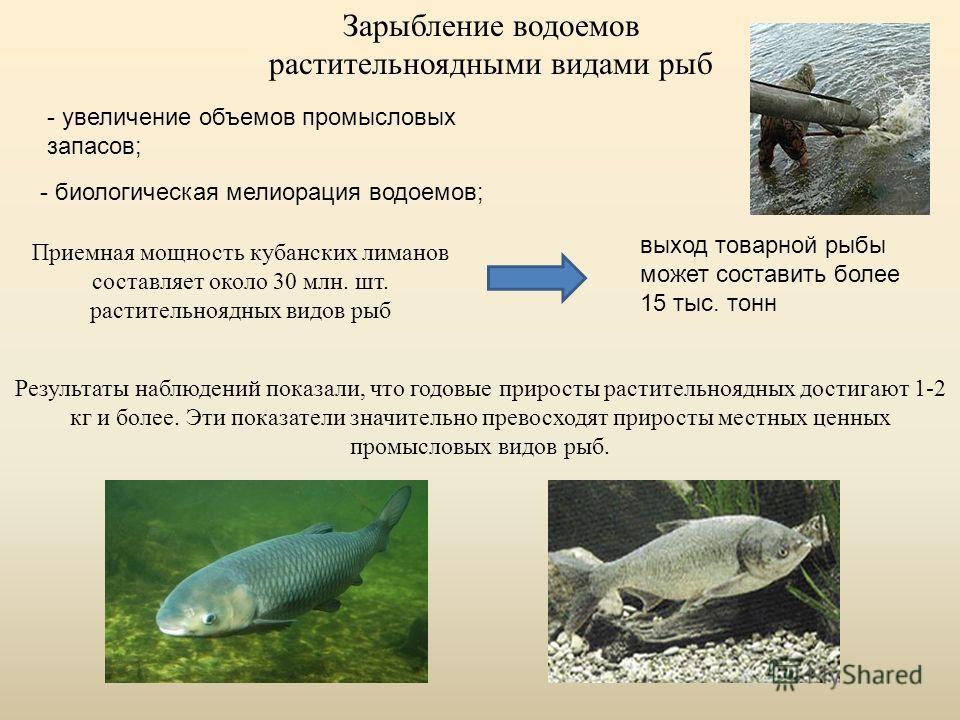 Зарыбление водоемов растительноядными видами рыб - увеличение объемов промысловых запасов; - биологическая мелиорация водоемов; Приемная мощность кубанских лиманов составляет около 30 млн. шт. растительноядных видов рыб выход товарной рыбы может сост