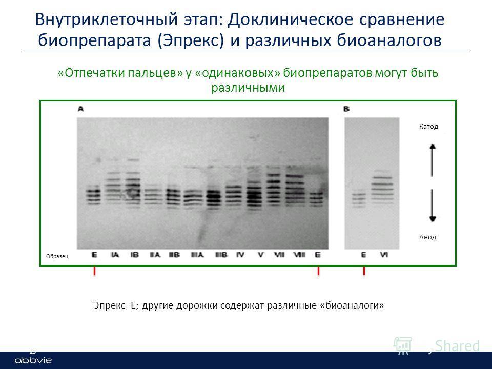 Эпрекс=E; другие дорожки содержат различные «биоаналоги» Внутриклеточный этап: Доклиническое сравнение биопрепарата (Эпрекс) и различных биоаналогов 25 «Отпечатки пальцев» у «одинаковых» биопрепаратов могут быть различными Катод Анод Образец
