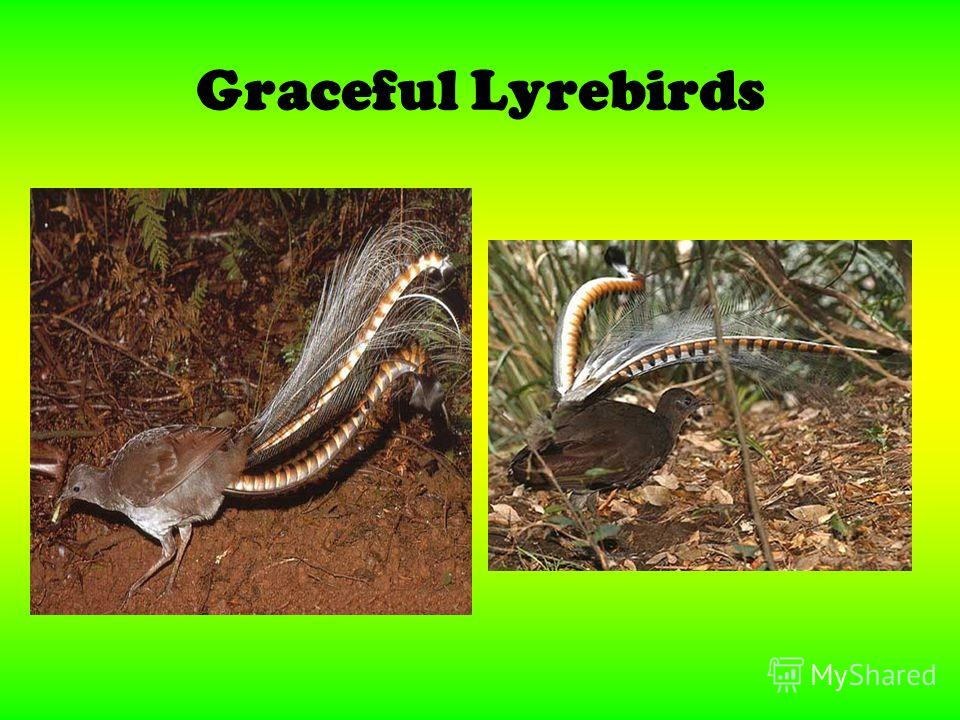 Graceful Lyrebirds