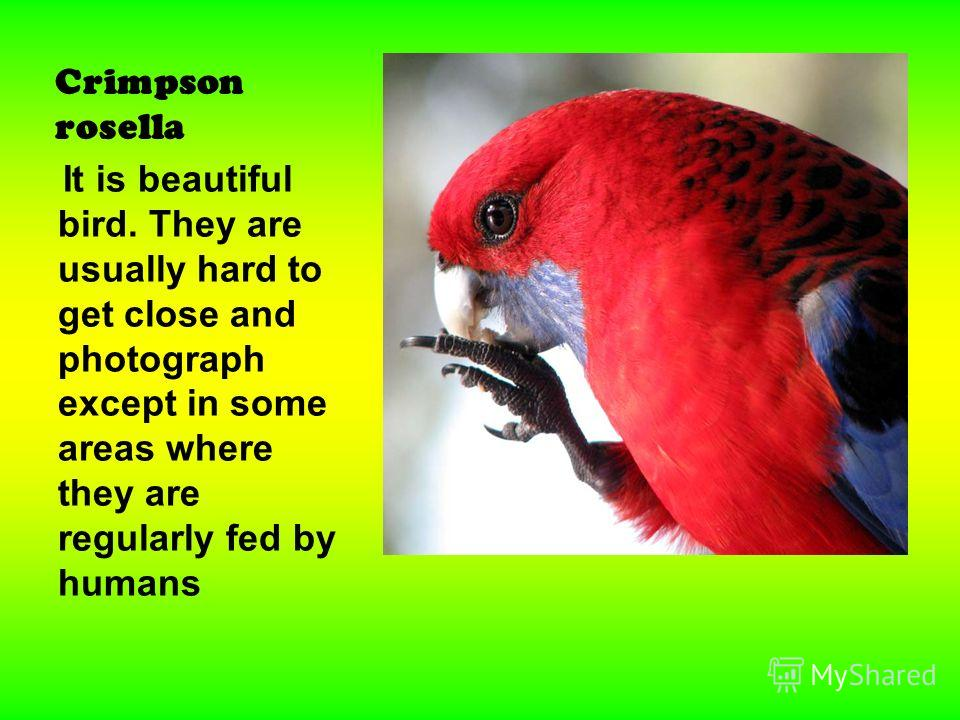 Crimpson rosella It is beautiful bird. They are usually hard to get close and photograph except in some areas where they are regularly fed by humans
