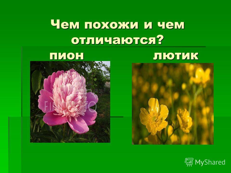 Чем похожи и чем отличаются? пион лютик