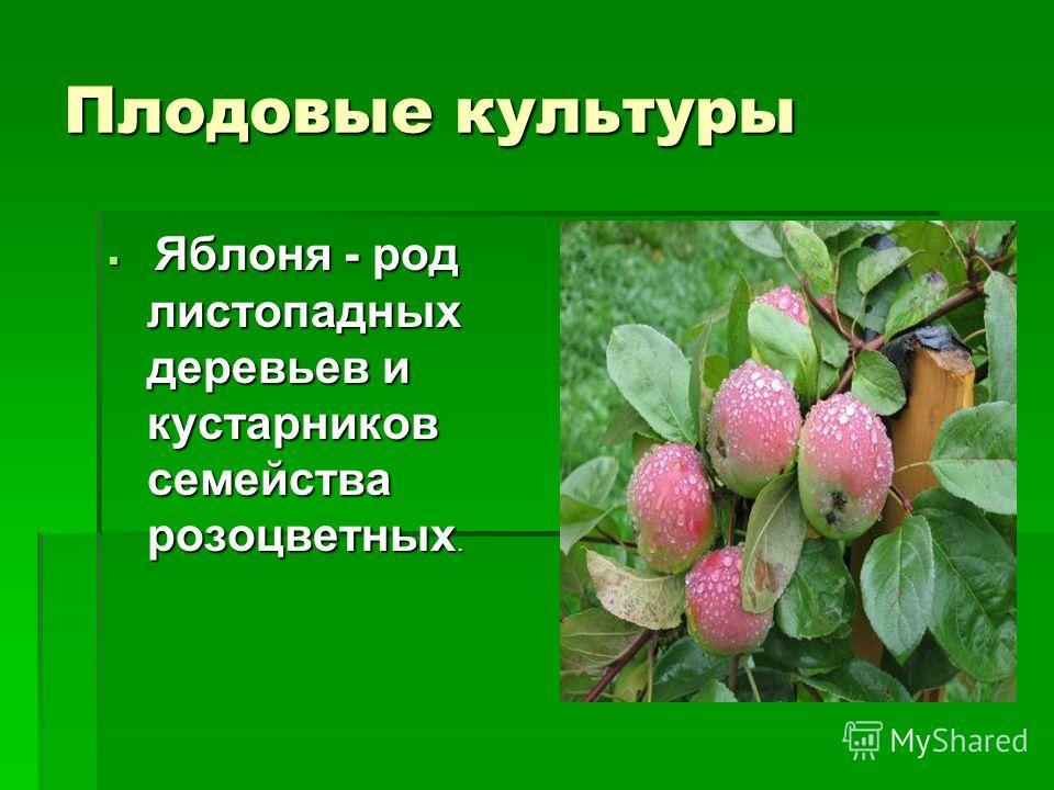 Плодовые культуры Яблоня - род листопадных деревьев и кустарников семейства розоцветных. Яблоня - род листопадных деревьев и кустарников семейства розоцветных.