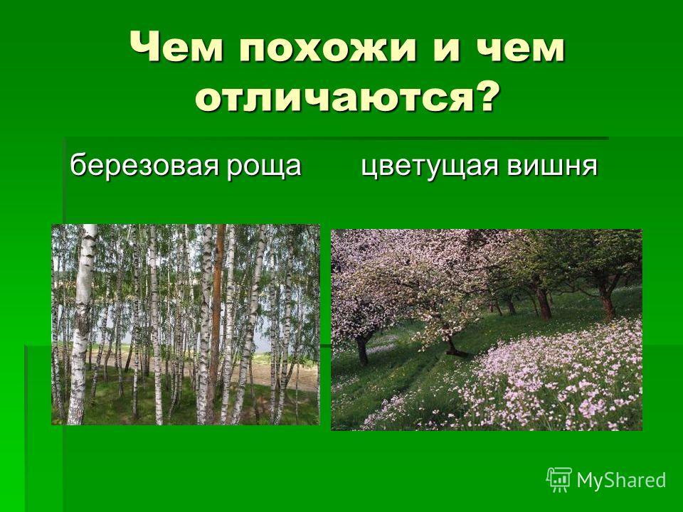Чем похожи и чем отличаются? березовая роща цветущая вишня