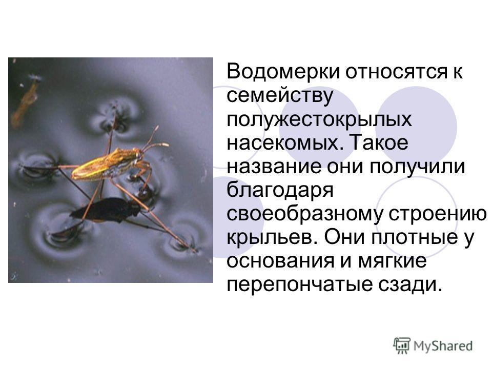 Водомерки относятся к семейству полужестокрылых насекомых. Такое название они получили благодаря своеобразному строению крыльев. Они плотные у основания и мягкие перепончатые сзади.