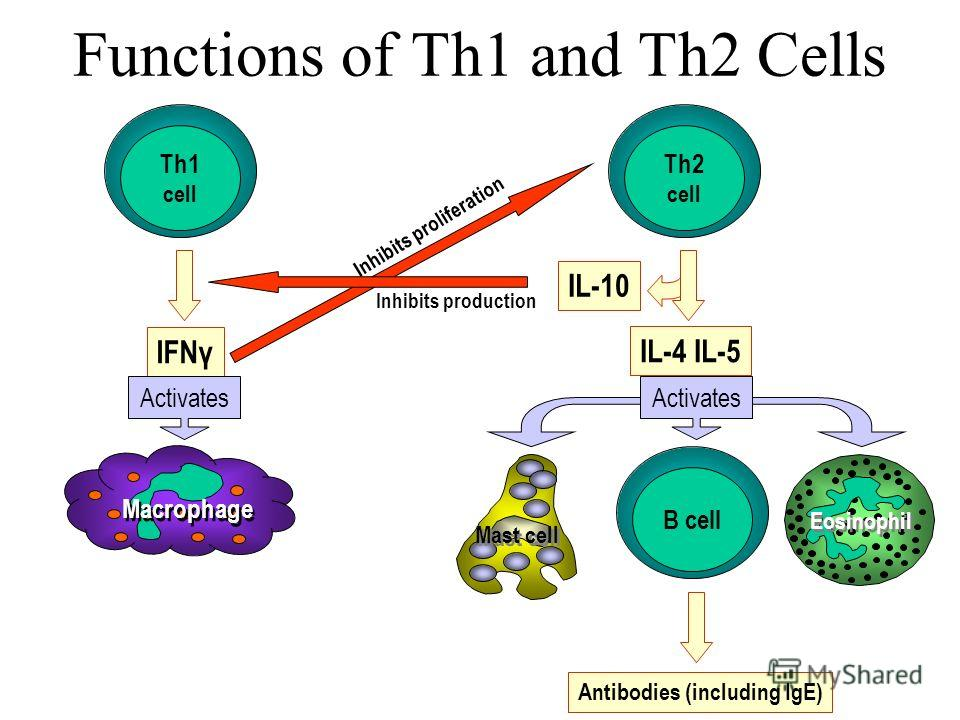 Functions of Th1 and Th2 Cells Th1 cell Th2 cell Macrophage B cell IFNγ Activates IL-4 IL-5 IL-10 Activates Inhibits production Inhibits proliferation Mast cell Eosinophil Antibodies (including IgE)