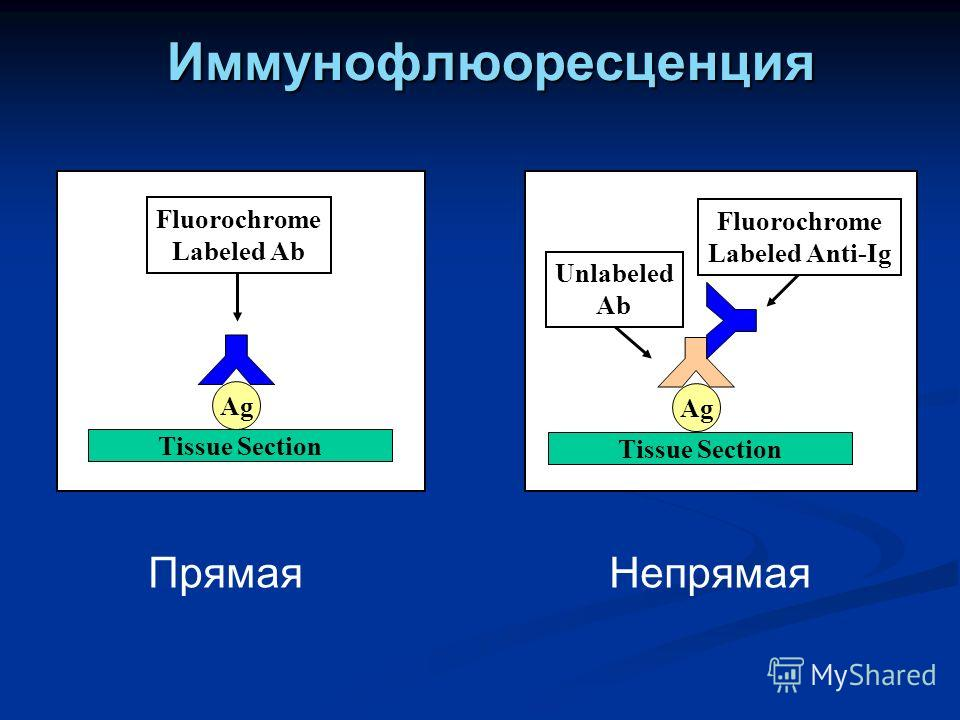 Иммунофлюоресценция Ag Fluorochrome Labeled Ab Tissue Section Ag Fluorochrome Labeled Anti-Ig Tissue Section Unlabeled Ab Прямая Непрямая