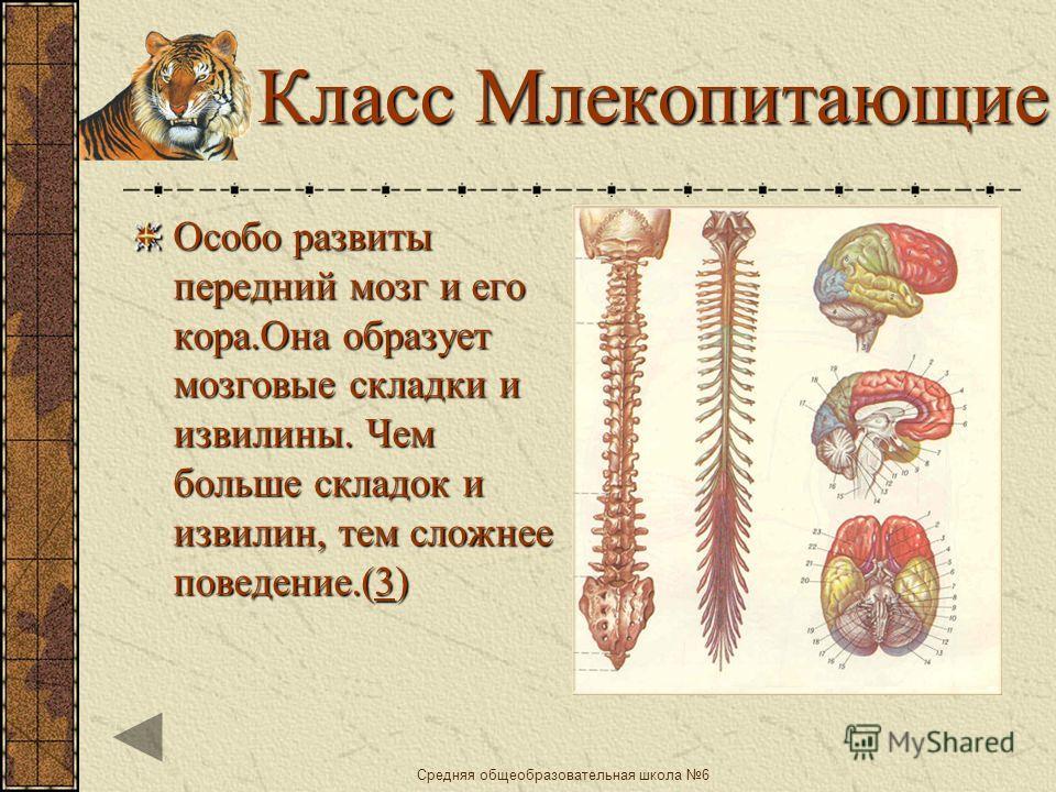 Средняя общеобразовательная школа 6 Класс Птицы Сильно развиты полушария переднего мозга,средний мозг и мозжечок. ( 1111) С развитием больших полушарий связано быстрое образование условных рефлексов ( 2222)