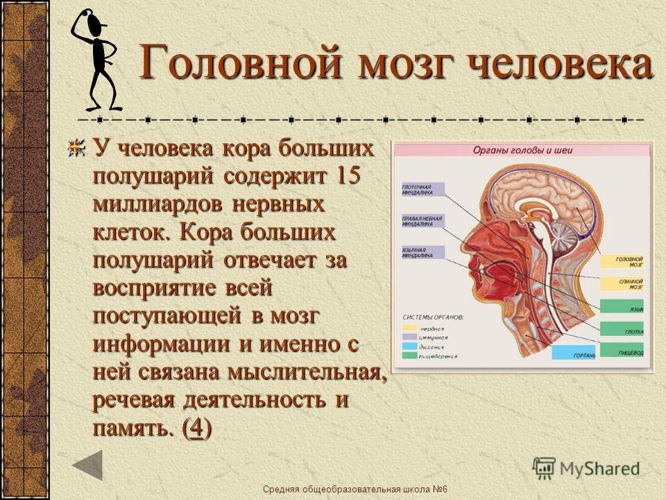 Средняя общеобразовательная школа 6 Класс Млекопитающие Особо развиты передний мозг и его кора.Она образует мозговые складки и извилины. Чем больше складок и извилин, тем сложнее поведение.( 3333)