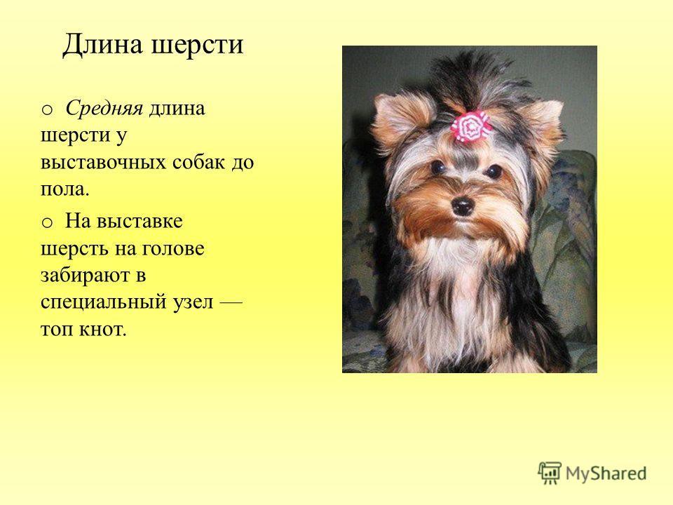 Длина шерсти o Средняя длина шерсти у выставочных собак до пола. o На выставке шерсть на голове забирают в специальный узел топ кнот.