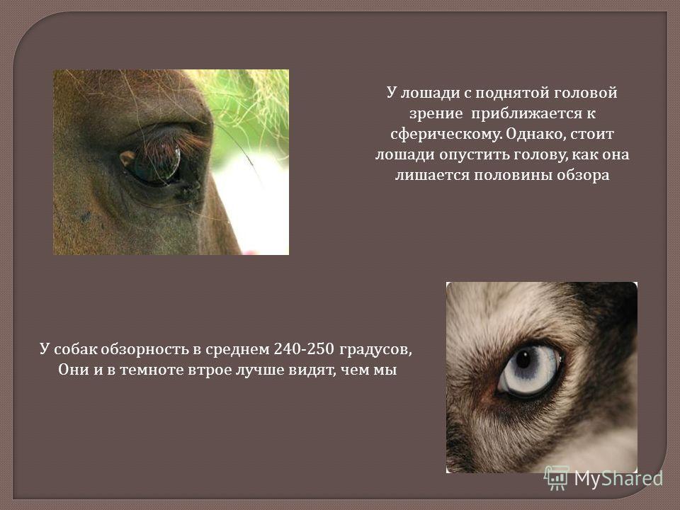 У собак обзорность в среднем 240-250 градусов, Они и в темноте втрое лучше видят, чем мы У лошади с поднятой головой зрение приближается к сферическому. Однако, стоит лошади опустить голову, как она лишается половины обзора